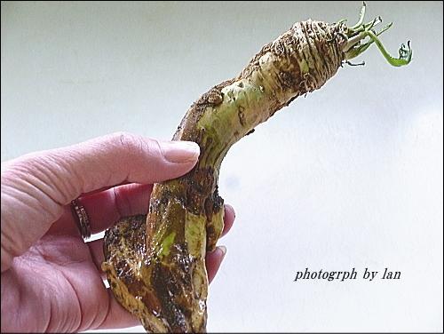 horseradish-1